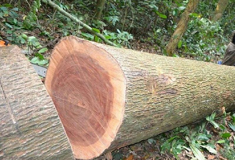 gỗ xoan đào chống mỗi mọt kém